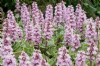 Ajuga reptans 'Pink Lightening'  3L
